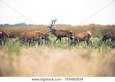Grazing Herd Of Red Deer Doe With Stag Walking By. National Park Hoge Veluwe. The Netherlands.