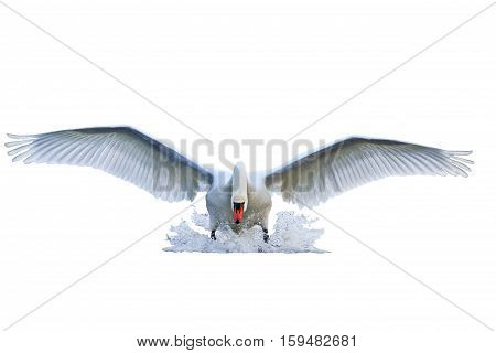 mute swan with open wings runs on water isolated on white, mute swan, spray water white bird