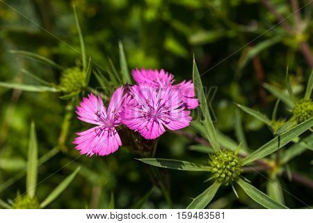 Dianthus deltoides (maiden pink) is a species of Dianthus native to most of Europe and western Asia