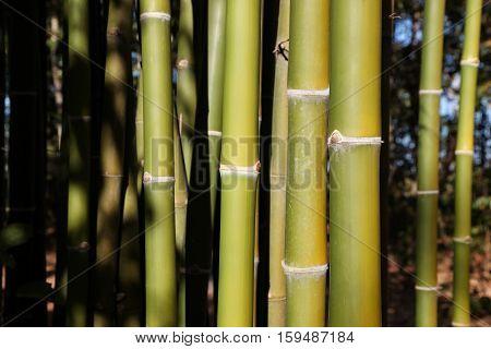 Green bamboo tree in a garden. Green bamboo background.