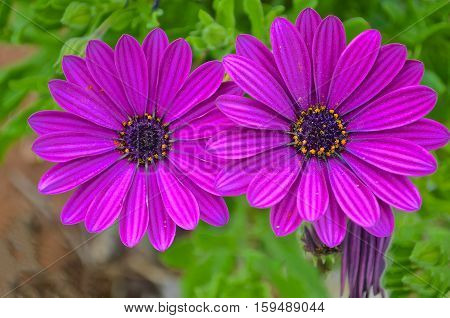 Asteraceae, Osteospermum. Two purple daisies on blurred green background
