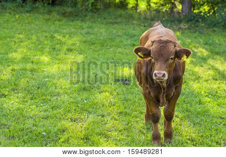 Brown calf on grassland - Image with a brown young cow in a green meadow at a farm in south Germany near the village Schwabisch Hall