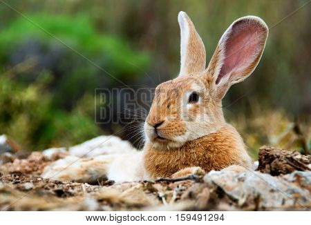 Found Mr big ears. Low angle view of a really pretty and cute bunny rabbit with big ears lying down and resting on fields