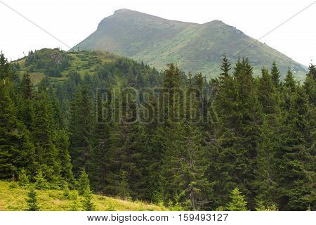 Spruce Forest In The Ukrainian Carpathians. Sustainable Clear Ecosystem
