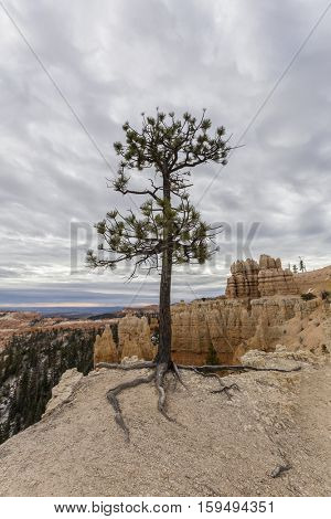 Limber Pine clinging to cliff at Bryce Canyon National Park in Southern Utah.