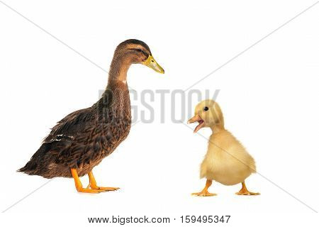 duck and  baby duck on a white background