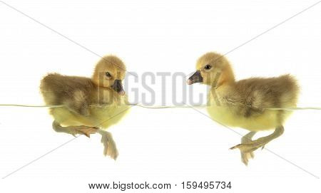 two swimming nestling of goose on white background