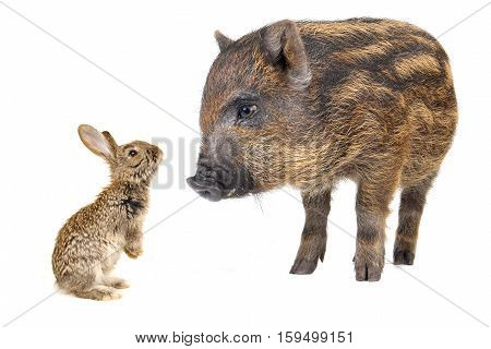 baby pig and grey rabbit isolated on white a  background