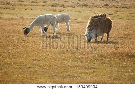 Patagonean Lamas In Chile, South America
