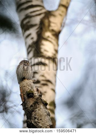 Perching Pygmy Owl (Glaucidium passerinum) at birch tree. Moscow Russia