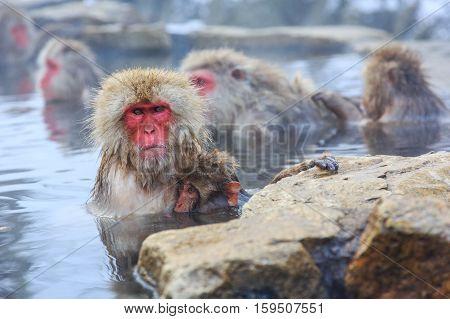 Snow monkeys in a natural onsen (hot spring) located in Jigokudani Park Yudanaka. Nagano Japan.