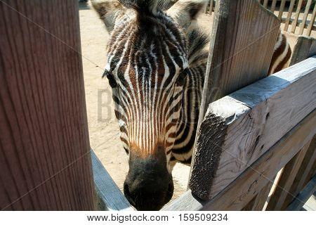 Zebra head in the paddock. Striped Zebra in the zoo open. Wild animals in captivity.