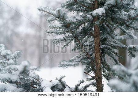 blue fir branches covered with snow after snowfall, closeup photo