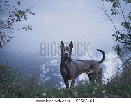 Grey beautiful mystic lonely thai ridgeback dog in mystic forest in summer morning on the foggy road