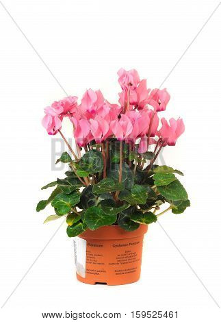 houseplant cyclamen chopin in brown clay flowerpot isolated