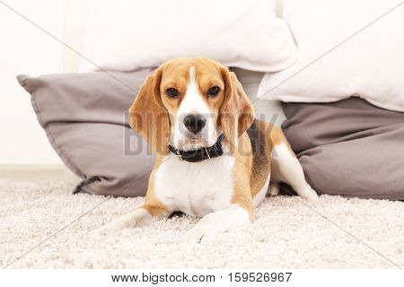 Dog on floor look at camera. Funny beagle puppy.Ttricolor beagle indoors.
