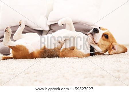 Funny beagle at home. Dog lie on carpet on its back. Dog with big ears.