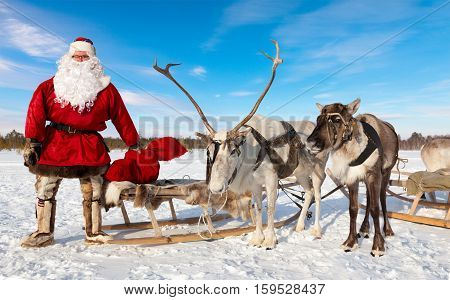 Santa Claus are near his reindeers in harness in the winter forest.