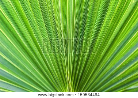 Washingtonia filifera Desert Fan Palm American Cotton Palm Arizona Fan Palm Stripped tropical pointy leaves Ribbed leaf Washingtonia palm background texture stock macro photo close up selective focus