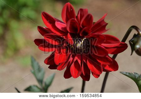 Gorgeous red dahlia flower blossom in a garden.
