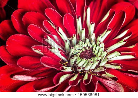 Zinnia elegans, known as youth-and-age, common zinnia or elegant zinnia, an annual flowering plant of the genus Zinnia, one of the best known zinnias. Asteraceae family Daisy chamomile autumn flowers