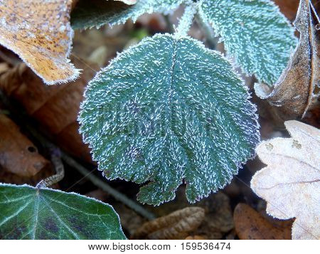Bramble leaf (Rubus fruticosus) covered in frost showing ice crystals attached to the leaf hairs.