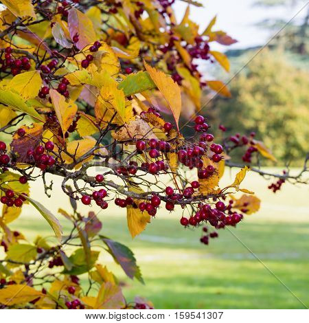 Black Hawthorn Branch With Leaves And Red Fruit - Crataegus Douglasii