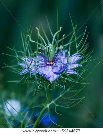 Purple Nigella damascena wild spring flower plant