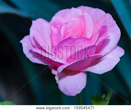 Pink rosa chinensis spring flower plant Japanese rose