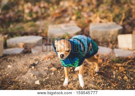 A chihuahua puppy stands in a yard, looking cold, in a festive knit sweater.