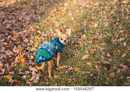A chihuahua puppy stands in a yard with dead leaves in a festive knit sweater.