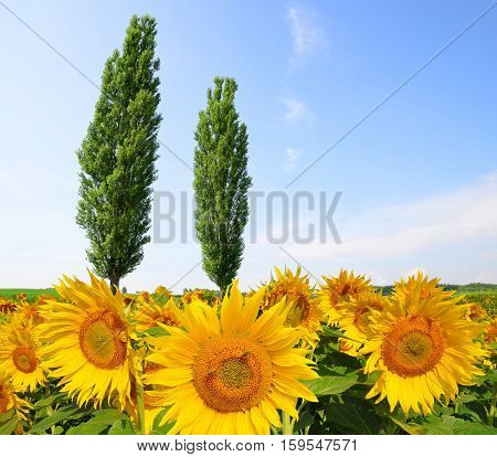 Blooming sunflower field with poplars in sunny day. Summer landscape.