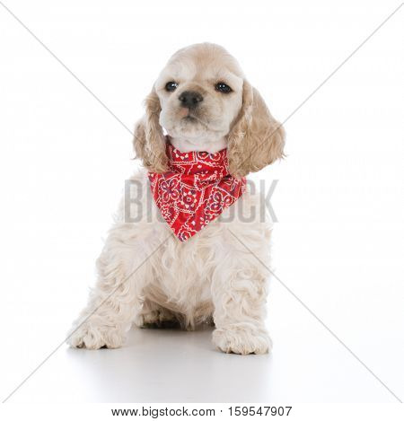 cocker spaniel wearing red bandanna on white background
