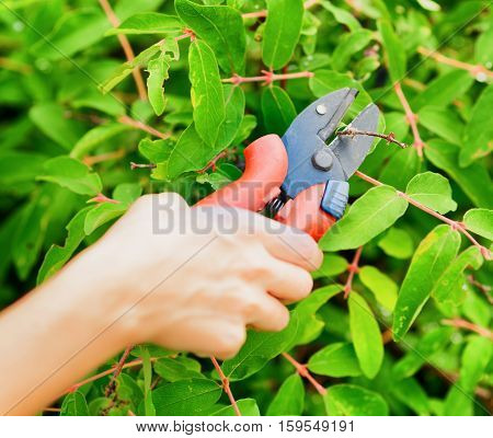 Pruning leaves with garden pruner. Work in garden.
