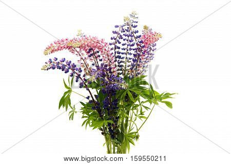 Colorful flowers - Lupine on white background.