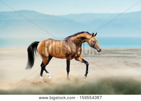 golden akhal-teke horse running free in desert