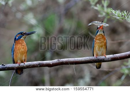 kingfisher in natural habitat during mating season (alcedo atthis)