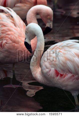 Flamingo Necks