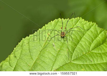 a cute daddy long legs spider on a leaf