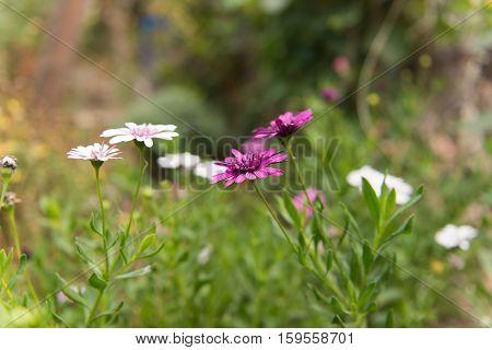 Osteospermum Flower Daisy growing in the flowerbed