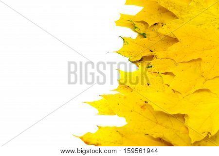 Autumn yellow maple leaf isolated on white background