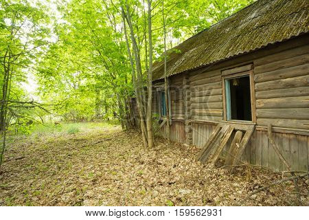 The Dilapidated Old Abandoned Wooden Country Blockhouse, Overgrown By Maple Trees In Exclusion Area After Chernobyl Tragedy And Nuclear Contamination In Summer.