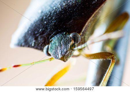 Macro shot of stinkbug head on the needle