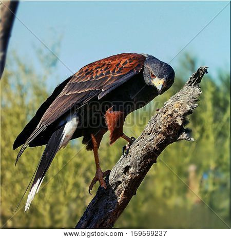 A close up capture of a Harris Hawk perching  in the  wildlife