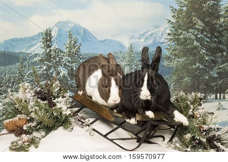 Two bunnies sit on a sled with a snowy mountain back drop.