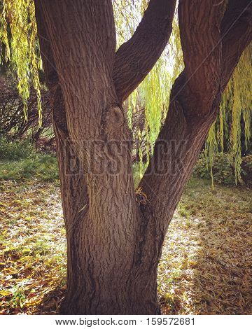 Willow tree trunk with sunshine and leaves on ground in autumn with sunshine on ground.  Sunshine on hanging branches and leaves behind trunk.  Closeup of tree trunk in fall with shadows and sunlight.