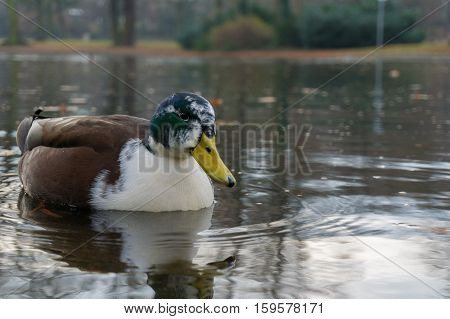 Close up of a lovely Mallard Duck. Mallard Ducks at the Lake. Swimming Mallard