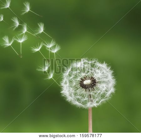 Dandelion blowing on green bacground, dandelion nature
