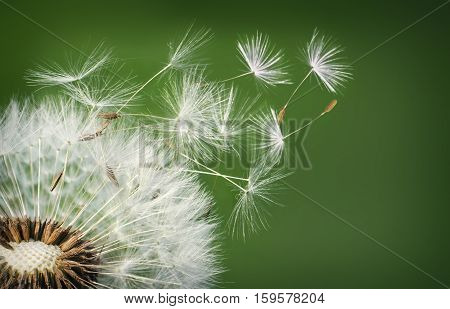 Dandelion Blowing on morning. Seeds dandelion. Nature dandelion