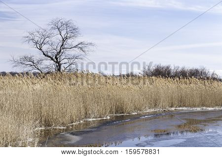 Thick wall of phragmites lining the Green Harbor River in Marshfield Massachusetts